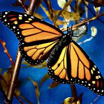 http://arctica.blogia.com/upload/20080124173948-mariposa-monarca.jpg