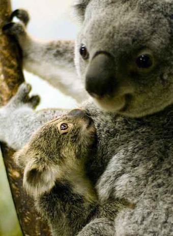 El cambio climático amenaza los koalas australianos