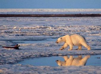 Estados Unidos declara especie protegida al oso polar